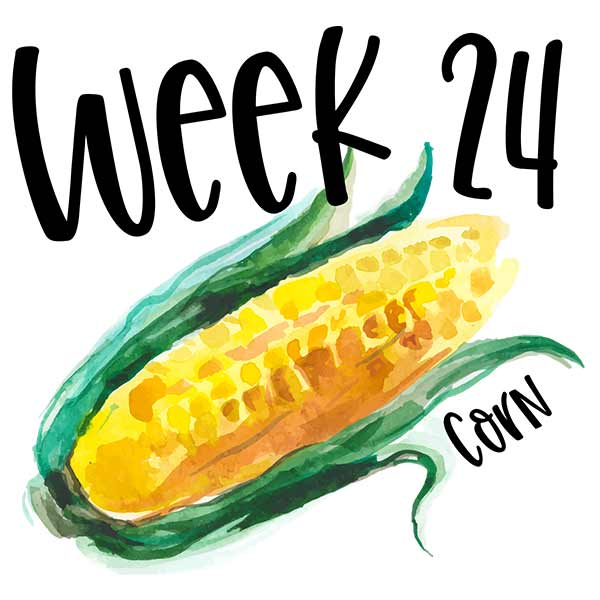 Baby size for week 24 compared to watercolor corn on the cob.