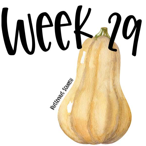 Baby size by week 29 compared to a watercolor of a butternut squash.